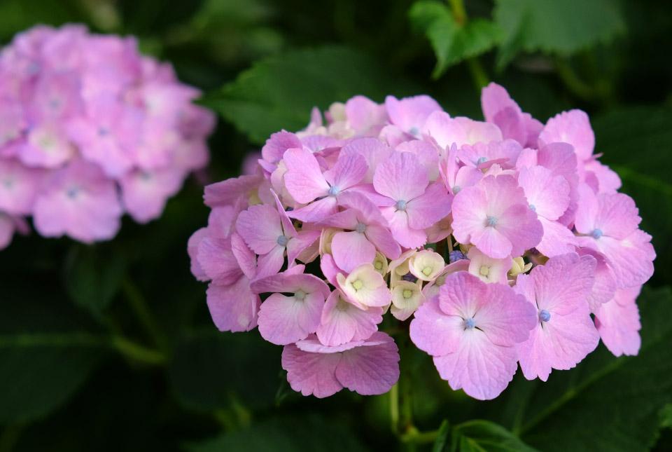 4678 ピンクのアジサイ 960×645