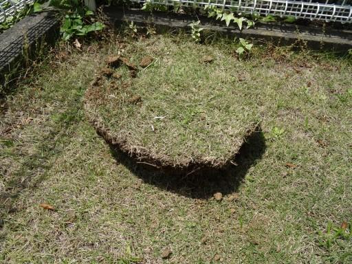 庭 シマトネリコ