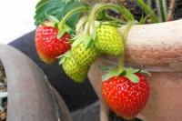 strawberryathome0614