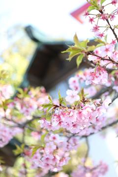 鎌倉宮と桜