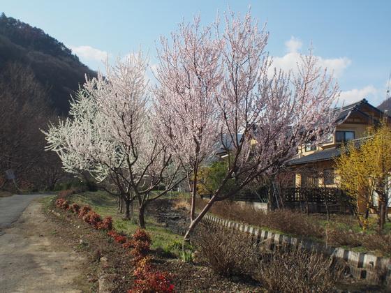 140331sakura.jpg