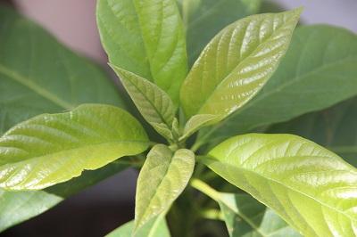 avocadoi-200514.jpg