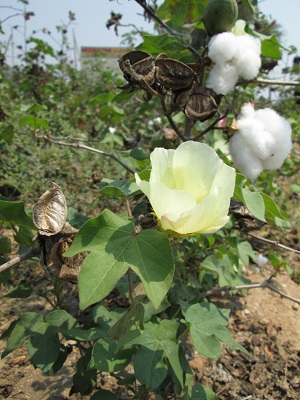 cottonflower.jpg