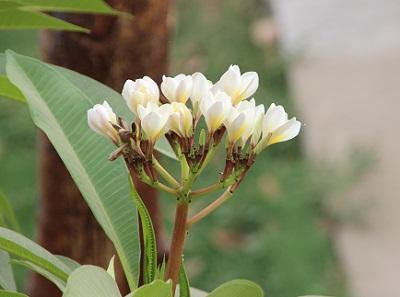 frangipani-may14.jpg