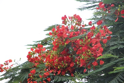 gulmohar-may14.jpg