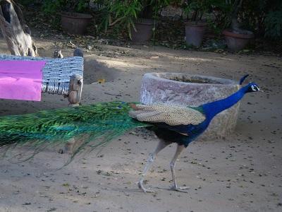 peacock-hotpink.jpg