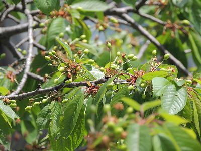 桜桃の実DSCN2102