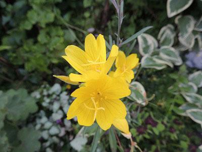 ⑤黄色い花DSCN2538
