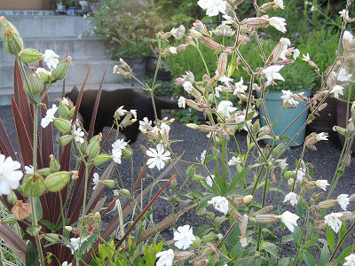 ⑲白い花DSCN2531