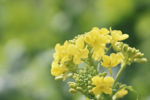 20140223菜の花