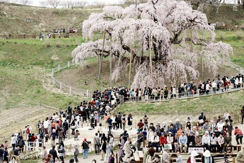 三春の滝桜2