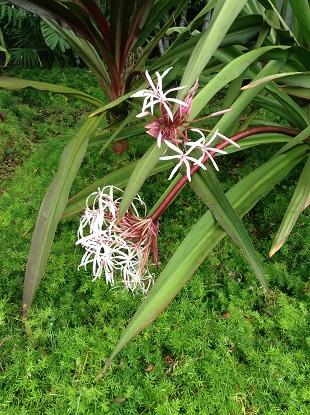 ハワイの花 - コピー