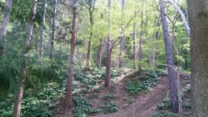円山原生林その2