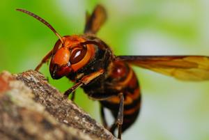 スズメバチ襲来