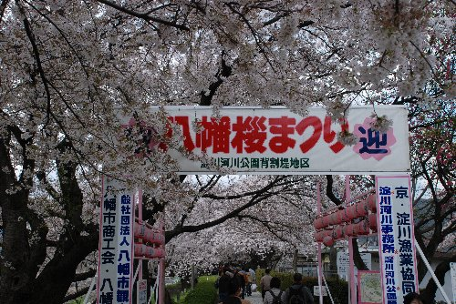 2014・04・05背割桜1
