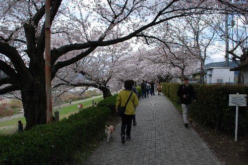 2014・04・05背割桜2