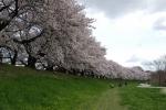 2014・04・05背割桜6