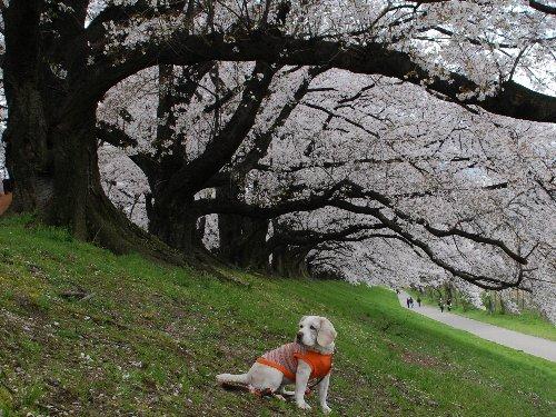 2014・04・05背割桜4