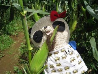 ばぶちゃんトウモロコシを食べる
