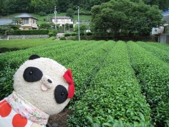 ばぶちゃん川根の茶畑にて