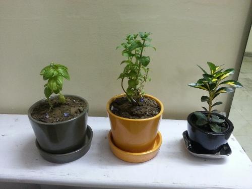herb (500x375)