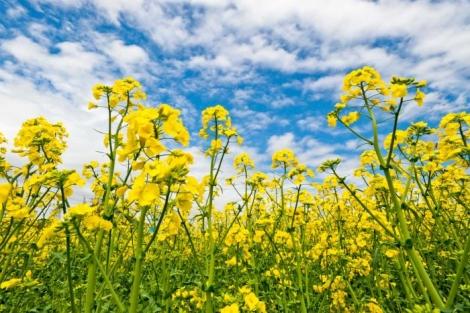 春画像 菜の花