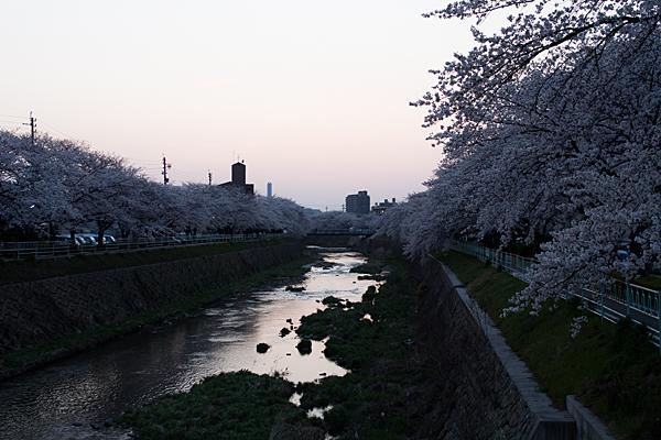 桜風景5-11