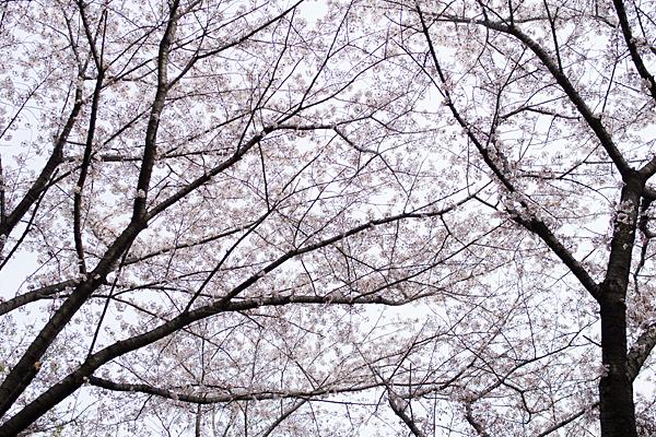 桜風景5-4