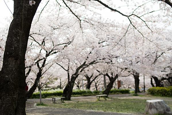 桜風景5-5