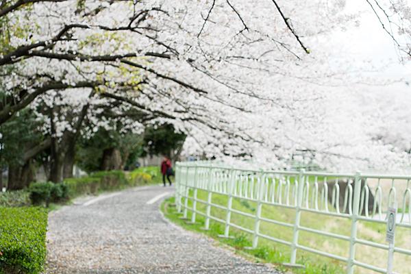 桜風景6-11