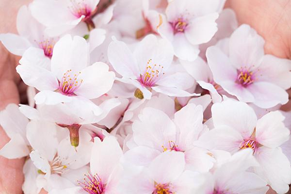 桜あれこれ2-5