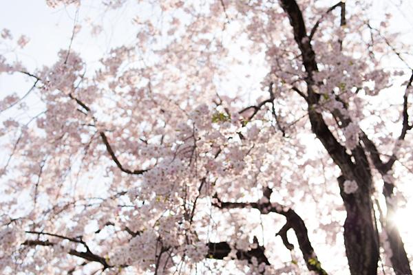 桜あれこれ2-9