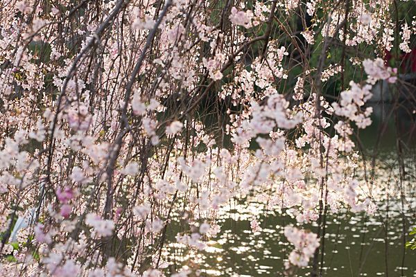 桜風景7-10