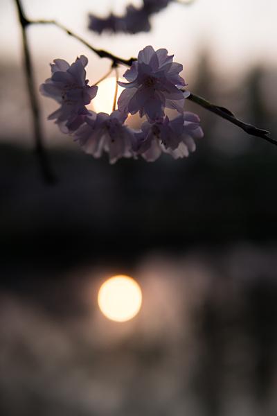桜風景7-11