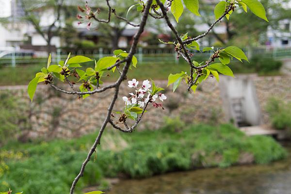 桜風景7-13