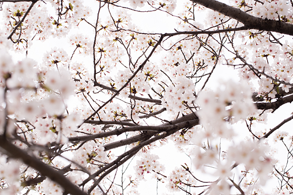 桜風景7-2