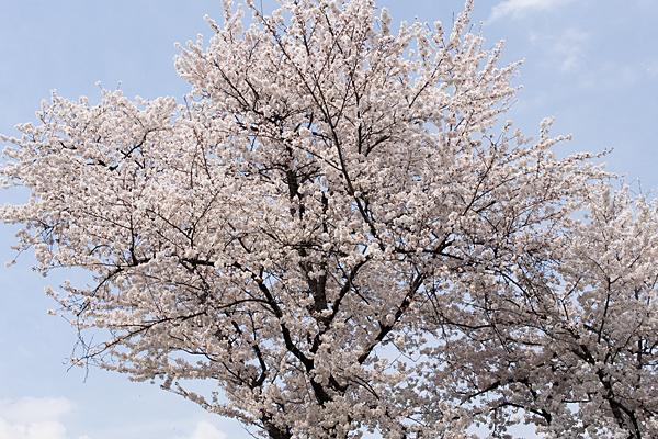 桜風景7-6