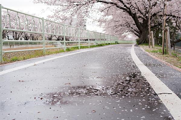 桜風景7-7