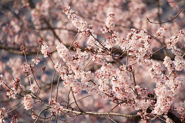 覚成寺桜-2