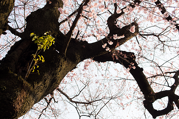 覚成寺桜-3