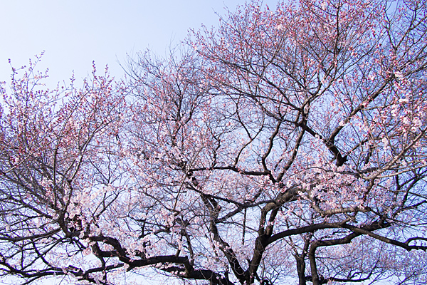 覚成寺桜-9