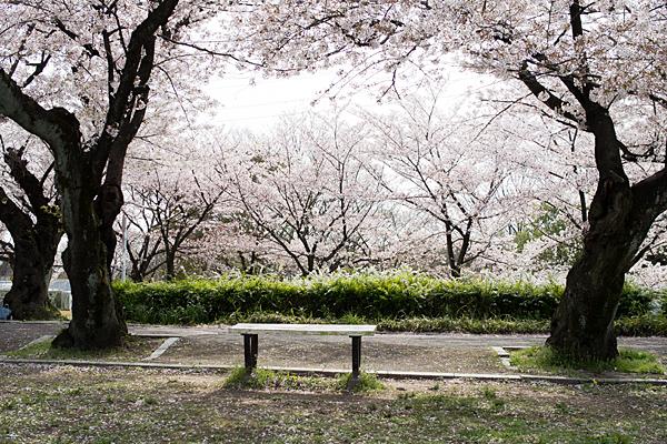 桜風景4-1