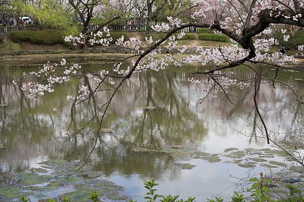 桜風景4-4