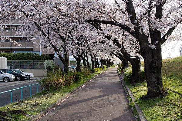 桜風景4-5