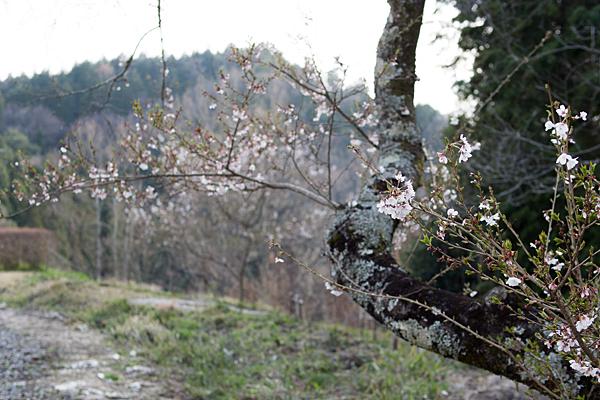 小原四季桜-1