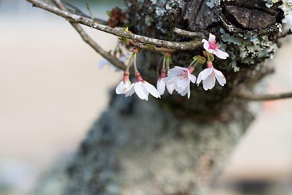 小原四季桜-3