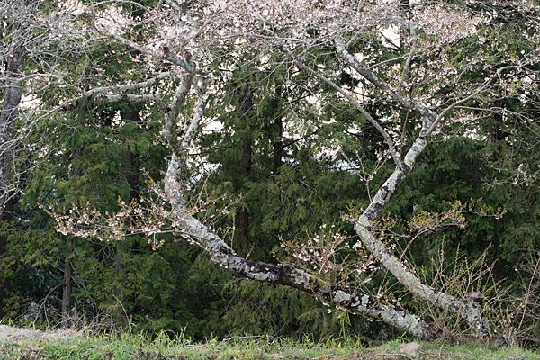 小原四季桜-4