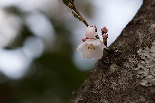 小原四季桜-5