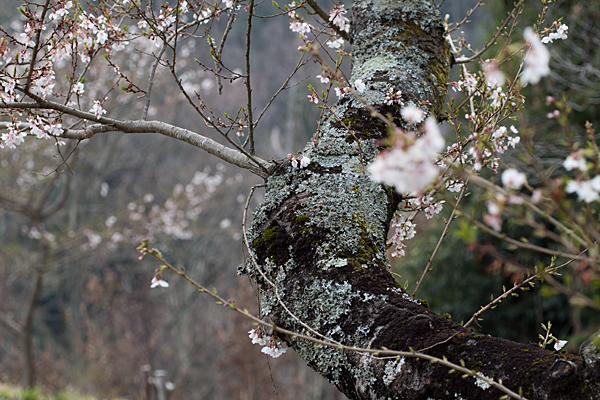 小原四季桜-6
