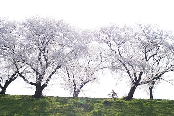 桜風景2-1